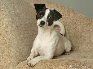 2yo female Fox Terrier,Rat Terrier Mix